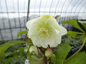 クリスマスローズ 苗 開花株 K026 ホワイト 八重咲き 12.0cm〜13.5cmポット 商品撮影日2021年2月11日です 到着時には花が終わっている可能がありますので予めご了承ください。