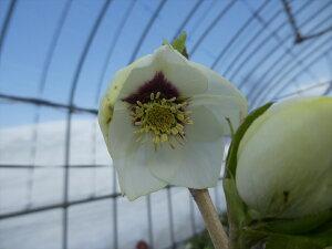 クリスマスローズ 苗 開花株 K088 ホワイト系 一重咲き系 12.0cm〜13.5cmポット 商品撮影日2021年2月22日です 到着時には花が終わっている可能がありますので予めご了承ください。