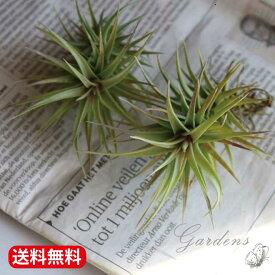 チランジア アエラントス ブロンズ  エアプランツ   観葉植物   インドアングリーン インテリア おしゃれ 【送料無料】