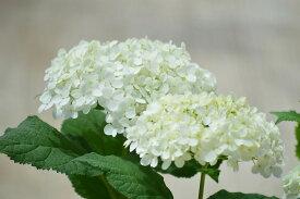 母の日贈り物に2021年6月開花苗アナベル苗母の日プレゼントに アジサイ苗 開花は遅咲き6月に開花のアナベル紫陽花です