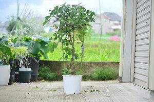 2021年実付きアケビ【食べる鉢植え】プラ鉢 あけび 五葉あけびの鉢植え 見てよし食べてよし 楽しみ育てる鉢植え 果樹 果実