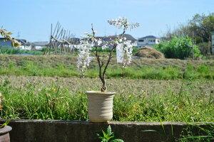 【藤鉢植え】2021年春開花 綺麗にしだれた白花藤  信楽鉢入【鉢植】