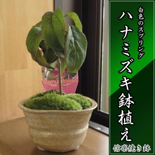 ハナミズキ 花水木 【ハナミズキ 鉢植え】スプリング  鉢植え 高さ15センチの かわいいサイズです はなみずき 花水木