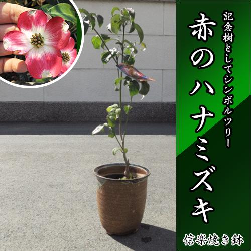 花水木 高さ 50センチ前後【信楽焼 鉢植え】  はなみずき 赤花  赤のハナミズキ 来年春開花予定