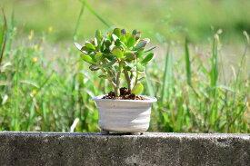 贈り物に縁起の良い 金運の良くなるかも お金のなる木です【花言葉】『一攫千金』『富』『幸運を招く』『不老長寿』