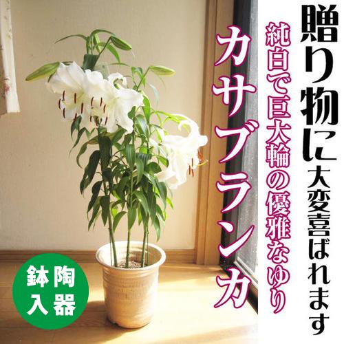 母の日ギフト大輪の花カサブランカ5月7日よりお届け【ユリ鉢植え】カサブランカゆり鉢植え純白で巨大輪の優雅な花鉢植の贈り物お届けの際カサブランカは蕾の状態です