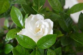 【ヤエクチナシ鉢植え】白の花【信楽鉢植え】梔子 ウェディングブーケにも使われる愛好家の多い花 2019年6月以降は開花終了でのお届けになります