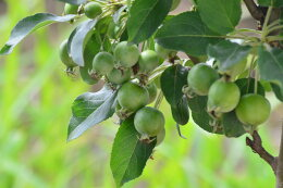 【実のなる鉢植え】クラブアップルゴージャスの鉢植え見てよし食べてよし楽しみ育てる鉢植え◎父の日プレゼント父の日ギフトに