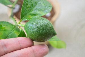 【食事を育てる】鉢で育てるレモン マイヤーレモン 陶器鉢入り 見てよし食べてよし 楽しみ育てる果樹 果実 2〜3年で結実します