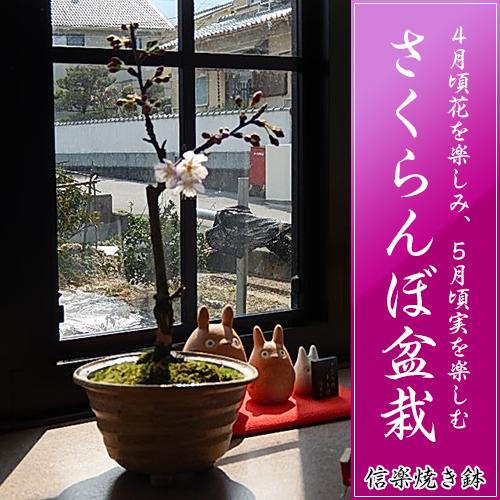 【さくらんぼ盆栽】   信楽焼鉢入り  【鉢植】【さくらんぼ盆栽】 4月に開花のあとに 実がなります