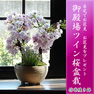 有趣 ☆ 成長櫻桃盆景 ☆ 八重櫻櫻是十全十美的櫻花櫻花盆景盆景雙櫻桃盆景 Shin 樂鍋與喜慶禮品 2016年