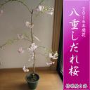 Sakura_09