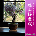 Sakura_13