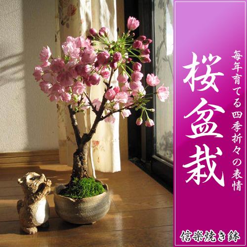 さくら盆栽 桜盆栽 贈り物にお花見盆栽  2018年4月中頃の春に開花 自宅でお花見が楽しめます