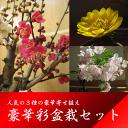 Sakura_20
