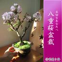 Sakura_22