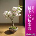 Sakura_24