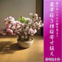 Sakura 25