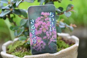 恋人に 夏の花 サルスベリミニ鉢植え ミニ盆栽 豪華な花がさきます