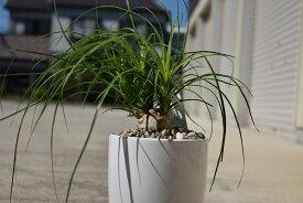 【トックリランノリナ】とっくりのように株が育つ 可愛い観葉植物 育てやすいので 気軽にどうぞ