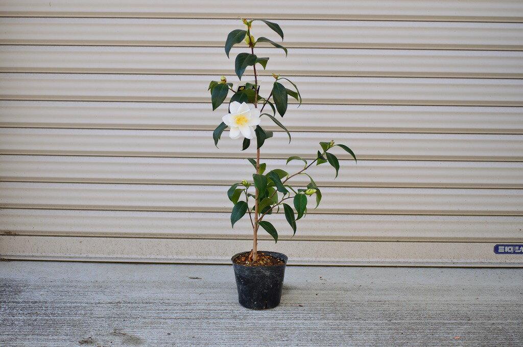 【椿】都鳥椿【2019年開花】椿苗 綺麗な白色の椿 八重