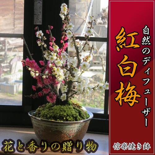 香りも楽しめる 紅白梅2019年2月頃開花します プレゼントにも最適 紅白梅梅盆栽 【盆栽】 信楽焼き入り 紅白梅盆栽 【鉢植】