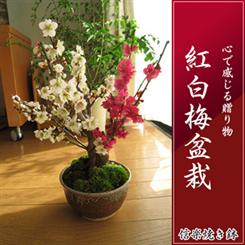 【盆栽 梅】 2019年2月中頃開花梅の開花 紅色と白色に咲く紅白梅盆栽 信楽焼き入り 紅白梅盆栽 【鉢植】【年末年始のお祝い お歳暮に】