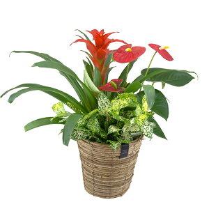 【バナナメイズバスケット GAG】 ギフト グズマニア ブロメリア アンスリウム 贈り物 贈答 プレゼント 観葉植物 鉢花 花 植物