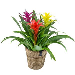 【バナナメイズバスケット グズマニア 3F】父の日 ギフト グズマニア ブロメリア 贈り物 贈答 プレゼント 観葉植物 鉢花 花 植物