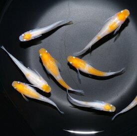 小町 稚魚10匹 メダカ めだか 種類 生体 送料無料