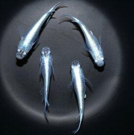 マリンブルー 稚魚10匹