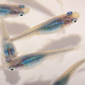 メダカ 生体 深海 稚魚10匹 めだか 種類 送料無料