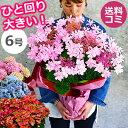 母の日 プレゼント アジサイ【ひと回り大きい6号鉢】 あじさい 鉢植え 早割 ギフト 紫陽花 鉢花 花鉢 珍しい 希少 ダ…