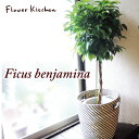『ベンジャミン Lサイズ 7号鉢 + IKEAカゴ付き 』北欧スタイル【イケア】【IKEA】 の カゴ付き 観葉 ベンジャミン フ…