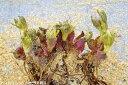 原種 クリスマスローズ チベタヌス 超早咲き性 (やや小型タイプ?) 12芽株(No.3753) 7号スリット鉢 長期化成肥料付 【アジアの原…