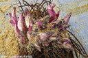 原種 クリスマスローズ チベタヌス (自然採取品?) 11芽株(No.3761) 7号スリット鉢 長期化成肥料付 【アジアの原種/高山植物/夏日…