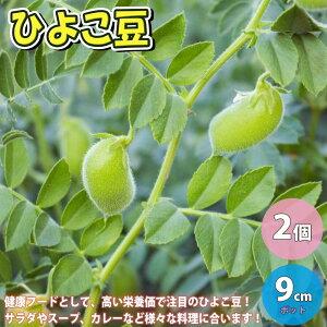 【送料無料】マメ苗 ヒヨコマメ【野菜苗 9cmポット/2個セット】ひよこ豆苗