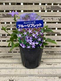 【花苗】カンパニュラブルーリブレット 9cmポット1苗