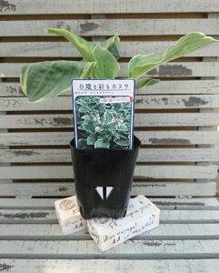 【花苗】ホスタ(ギボウシ) クリスマスツリー 9cmロングポット 1苗