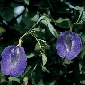 【輸入種子】Thompson&Morgan Clitoria Butterfly Peaクリトリア バタフライ・ピー トンプソン&モーガン