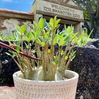 伊豆シャボテン本舗多肉植物コーデックスアデニウムアラビカム塊根鉢植えインテリアギフト【現品】