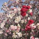 【サクラ属】花桃 枝垂れ源平八重咲き(接木苗)5号LLポット