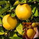 【香酸柑橘系ミカン属】マイヤーレモン(接木苗)4号Lポット