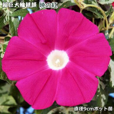 朝顔 苗 暁の紅 9cmポット苗