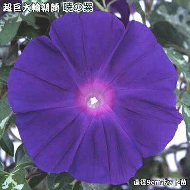 朝顔 苗 暁の紫 9cmポット苗