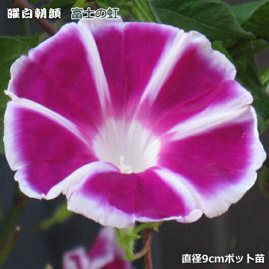 朝顔 苗 曜白朝顔 富士の紅 9cmポット苗