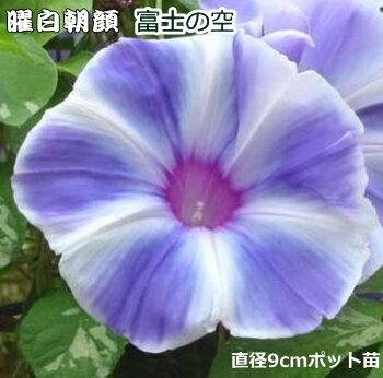 朝顔 苗 曜白朝顔 富士の空 9cmポット苗