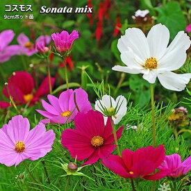 コスモス ソナタ ミックス Sonata mix 9cmポット苗 【ラッキーシール対応】