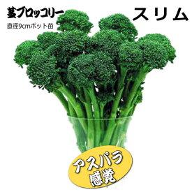 茎ブロッコリー スリム 9cmポット苗 【ラッキーシール対応】