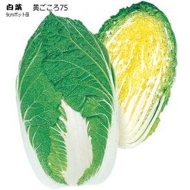 白菜 黄ごころ75  9cmポット苗 ハクサイ 【ラッキーシール対応】
